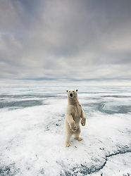 Polar bear (ursus maritimus) standing in the drifting ice in eastern parts of Svalbard, Norway