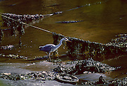 A heron fishing for food in the Helford Estuary, Cornwall, South West England
