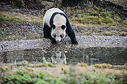 """CHANGSHA, CHINA - DECEMBER 17: China Out - Finland Out<br /> <br /> Greedy Panda Gets Apple From Pond <br /> <br /> Giant panda """"Erxi"""" trying his hardest  to get an apple from a pond at Panda House of Changsha Ecological Zoo on December 17, 2013 in Changsha, Hunan province of China, this playful set of images shows his determination to get his reward!<br /> ©Exclusivepix"""