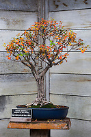 Crape Myrtle Bonsai Tree in Japanese Garden at The Huntington, San Marino, California