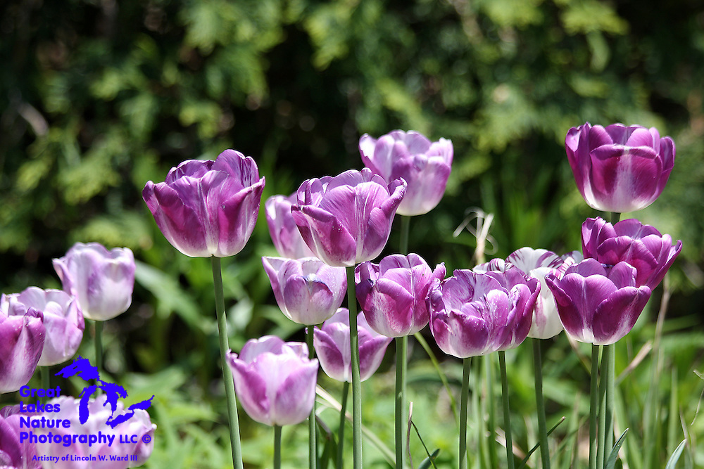 A cluster of purple tulips stands in contrast to a lush green background at the Green Bay Botanical Garden.