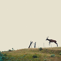 bull elk on prairie jumping fence