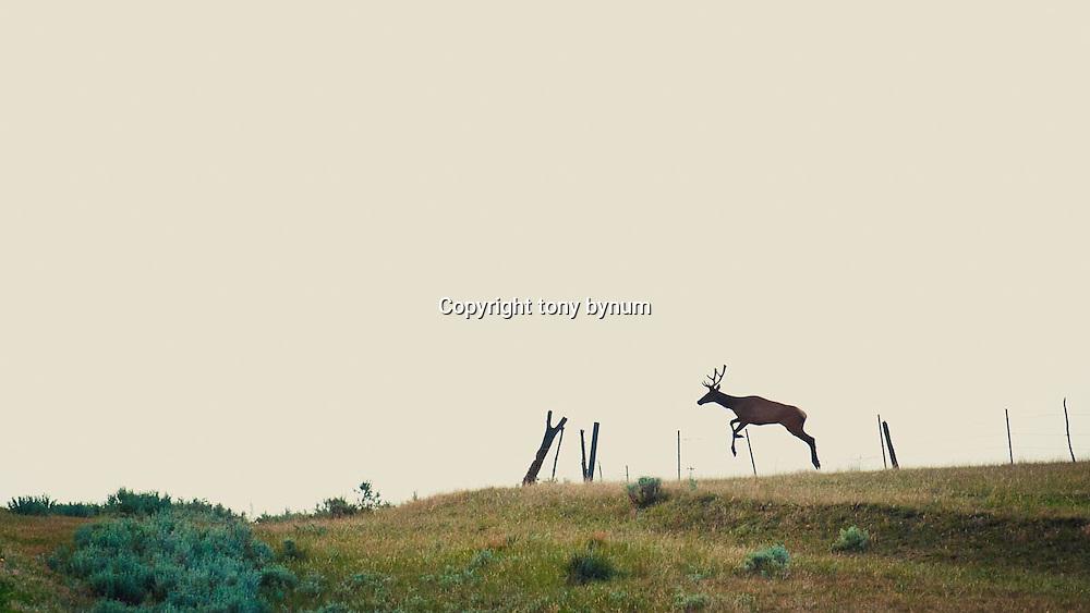 bull elk on prairie jumping fence