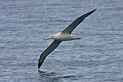 Northern Royal Albatross, Otago Peninsula, New Zealand