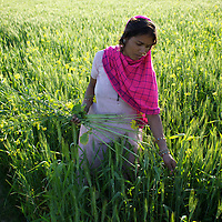 Binda from the ostracized low caste Nut community of Mangrepur works collecting mustard by the Hunda system. Hunda is a system whereby laborers provide a fixed proportion of the crop they cultivate to the landowner on whose land they work. Binda also provides for her three children by collecting wood from the forest. She is BPL (Below Poverty Line) but the Yadav (higher-caste) Pradhan (village head) has not provided her a PDS (Public Distribution System) card by which to claim her subsidized ration. ..Ostracized, largely illiterate, ignored by an indifferent administration, without land adequate to support their families' needs, the Nut community of Mangrepur village regularly suffer from hunger. ..Photo: Tom Pietrasik.Mangrepur, Marajganj District, Uttar Pradesh. India.February 27th 2011