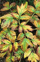Peony foliage in autumn colour