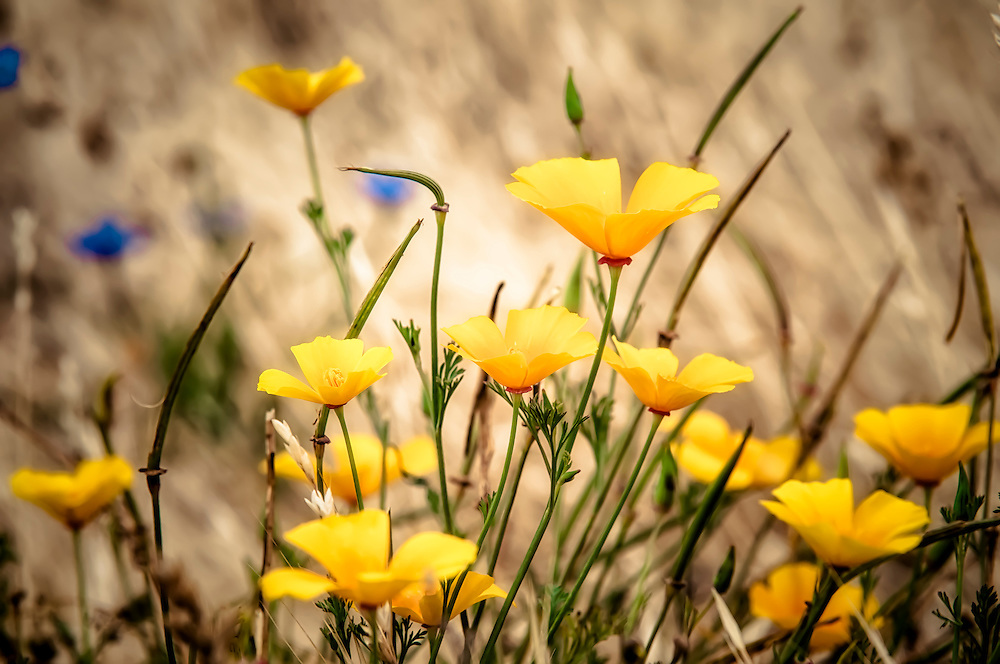 In summertime, masses of California poppies line roadsides and open areas, such as here in a field near Southern Washington's  Catherine Creek in the Columbia River Gorge.