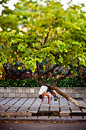 A local man hangs over a low tree branch along the sidewalk as part of his morning exercise routine, Hanoi, Vietnam, Southeast Asia