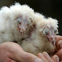 Tighmor property developers who are devloping a site at Borelick in Perthshire have built an owlery into one of the properties after discovering that a barn owl was resident in the original steading....Pictured 3 week old Barn Owl chicks in the hands of owl breeder Clive Ashton-Clements<br />
