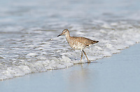 Willet (Catoptrophorus semipalmatus), foraging along tide line, Cherry Hill Beach, Nova Scotia, Canada