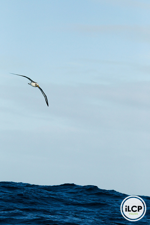 Buller's Albatross (Thalassarche bulleri) gliding over ocean, Kaikoura, South Island, New Zealand