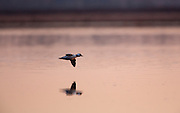 Bufflehead drake in flight in early morning light.