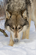 Close up of gray wolf (Canis lupus) in snowy habitat. Captive pack.