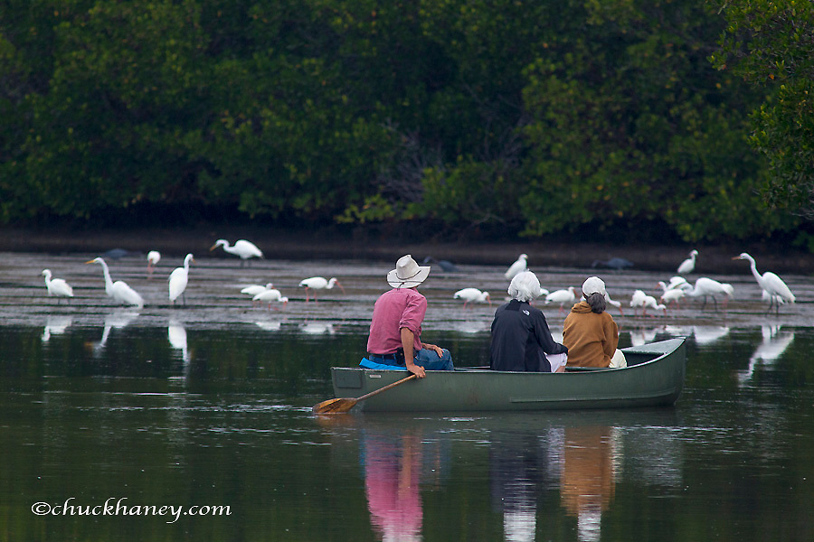 Canoers get closer look at great egrets and whie ibis at Ding Darling NWR on Sanibel island, Florida, USA