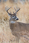 Whitetail deer during autumn rut in Wyoming Whitetail buck during the autumn rut