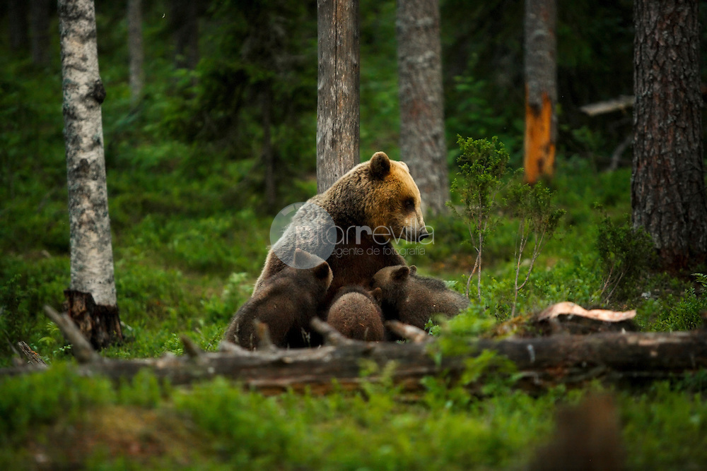 Cachorros de Oso Pardo amamantando, Finlandia ©Carles Zamorano / PILAR REVILLA