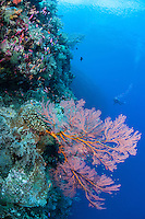 Diver and Sea Fan on reef wall<br /> <br /> Shot in Indonesia