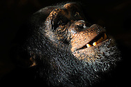 Common chimpanzee [Pan troglodytes]..Portrait of a male chimpanzee. Characteristic shap of head with a protruding snout and brow ridges. The faces are hairless and brighter in younger individuals than older ones. Visible are also the significantly pronounced canines.....Gemeiner Schimpanse (Pan troglodytes)..Portrait eines Schimpansen-Mannes. Charakteristische Kopfform mit hervorstehender Schnauze und den Überaugenwülsten. Die Gesichter sind unbehaart und bei jüngeren Individuen heller als bei Älteren. Sichtbar sind auch die deutlich ausgeprägten Eckzähne...