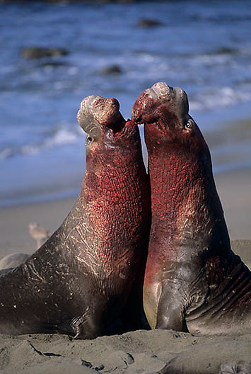 Northern Elephant Seal, (Mirounga angustirostris)  Males fighting. California.