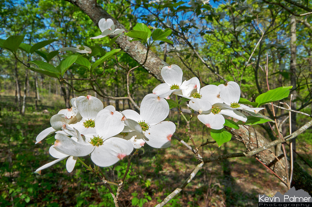 A common sight in the Ozark Mountains in the spring is to see the white blooming flowers of dogwood trees. This tree was in the woods of Ha Ha Tonka State Park, Missouri.<br />