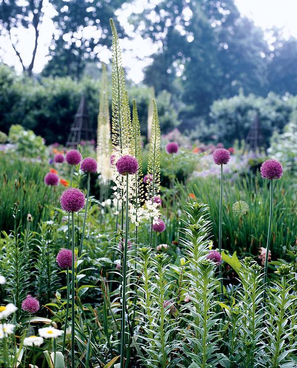 Alliums in Connecticut garden