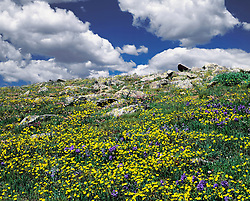 Horizontal image of blue and yellow wildflowers in foreground that is rising to stones on top of hill with bright blue sky and puffy clouds