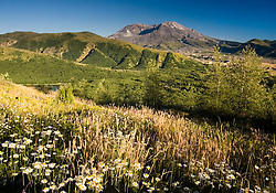 Oxeye Daisy (Leucanthemum vulgare or Chrysanthemum leucanthemum) and Mt. St. Helens. Mt. St. Helens National Volcanic Monument, Washington, US