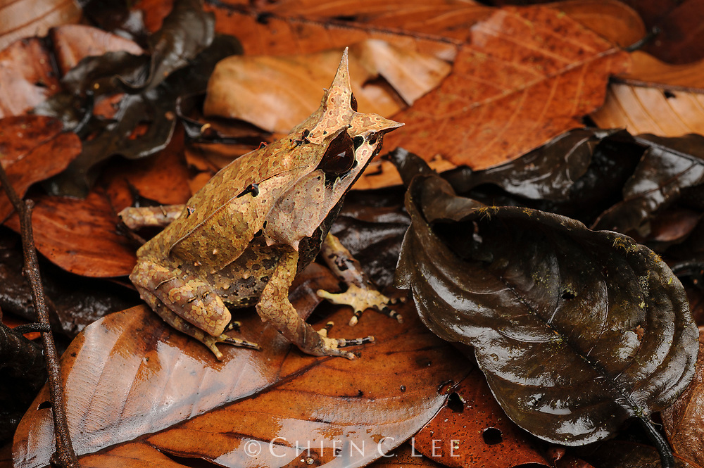 Found throughout the lowland rainforests of Sarawak, the loud honking call of the Bornean Horned Frog (Megophrys nasuta) is commonly heard before the onset of heavy thunderstorms. When disturbed it remains completely motionless, relying on its excellent camouflage to escape detection from potential predators. Sabah, Malaysia.