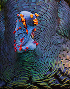 Ocellated Turkey (Meleagris ocellata) displaying for the females, Belize.