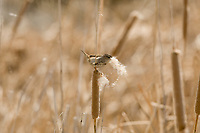 An adult female Marsh Wren gathers cattail seeds to line the inside of its nest.
