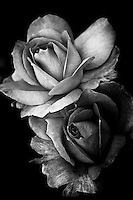 A duo of rose blossoms in black and white