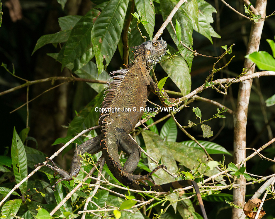 A large adult Green Iguana, Iguana iguana, in a tree in the rainforest in Tortuguero National Park,  Costa Rica.