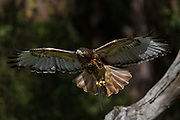 Red tailed hawk in flight at the Center for Birds of Prey November 15, 2015 in Awendaw, SC.