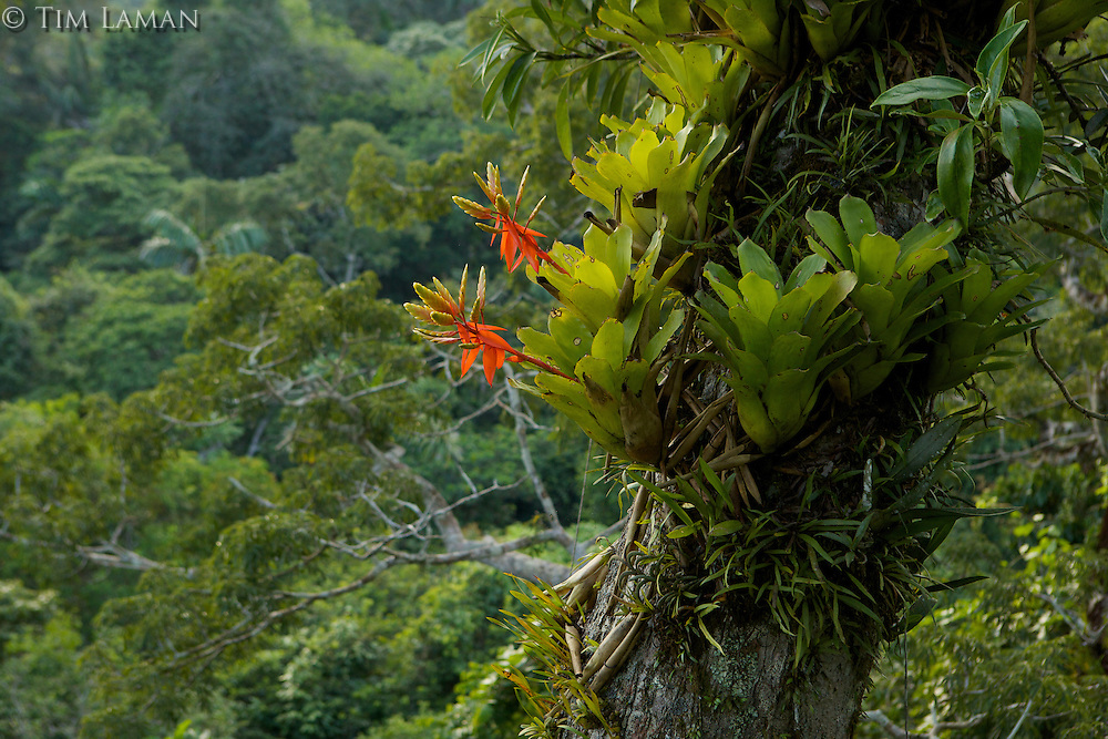 Amazon rain forest canopy view with flowering Bromeliad epiphytes growing on a branch of a giant Ceiba tree.<br /><br />Tiputini Biodiversity Station, Amazon Rain Forest, Ecuador.