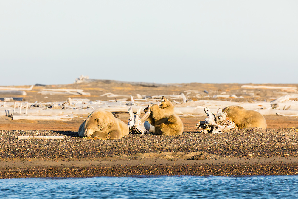 Sow polar bear (Ursus maritimus) and cubs resting on spit along Beaufort Sea on Barter Island in Kaktovik, Alaska. Autumn. Afternoon.