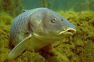 Common Carp, Underwater