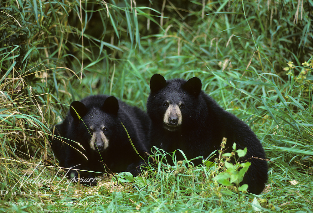 Black Bear cubs huddled together in Minnesota.