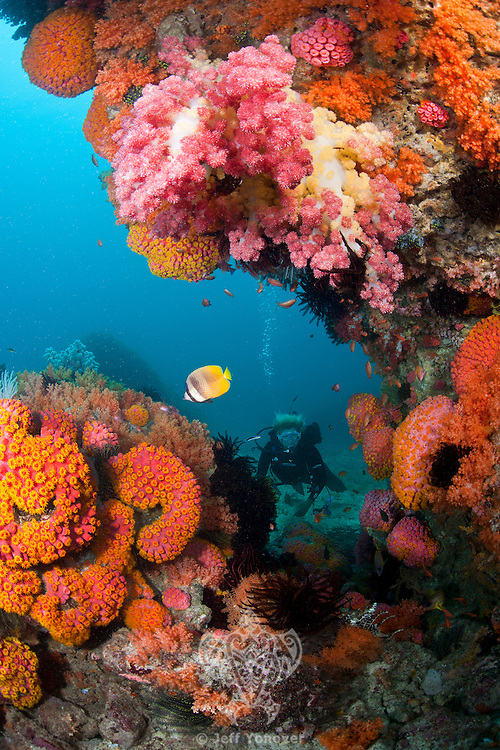 Diver, Butteryflyfish, Hard and Soft Corals<br /> <br /> shot in Indonesia