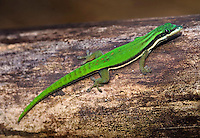 Phelsuma nigristriata (Island Day Gecko)