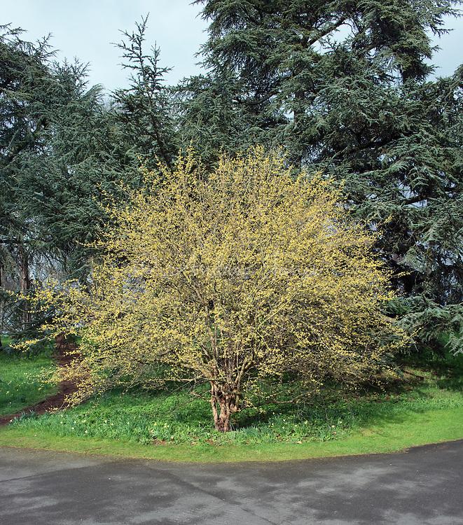 Cornus mas (Cornelian cherry) in flower at RBG Kew