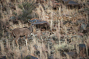 Kudu (Tragelaphus strepsiceros)<br /> Private game ranch<br /> Great Karoo<br /> SOUTH AFRICA