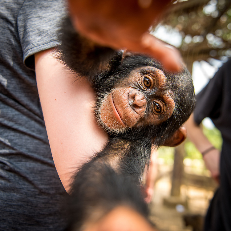 Young female student holds chimpanzee (Pan troglodytes) who reaches for camera. Ganta LiberiaGanta Liberia