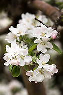 Flowers on a Yellow Transparent Apple tree in the Fraser Valley of British Columbia, Canada