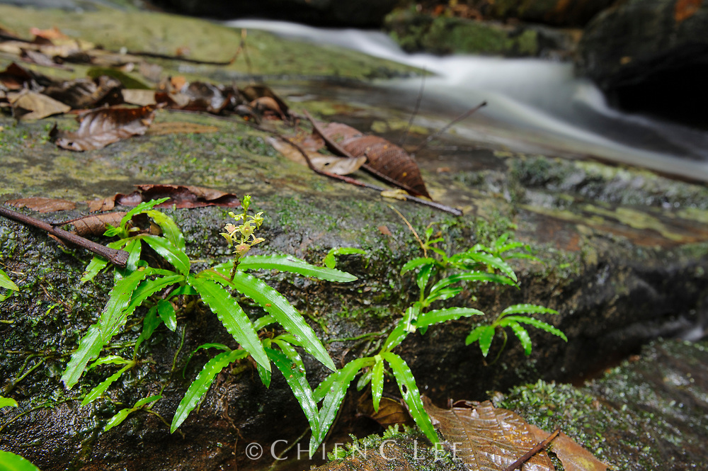 This tiny orchid (Crepidium damusicum) grows only on the rocky banks of streams in northern Borneo.  Like other rheophytic plants, the slender leaves of this species are adapted to tolerate occasional floods of swiftly running water. Sabah, Malaysia.