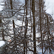 Snow covered trunks almost give the impression of Birch trees in the winter forest through the reflection in the water.