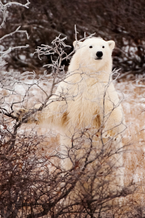 CANADA, Churchill (Hudson Bay).Polar bear (Ursus maritimus) cub standing