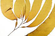 Giant bladder kelp (Macrocystis pyrifera) Los Molinos, Valdivia, Chile, Pacifictide-pool | Wachstumsbereich des Riesentanges (Macrocystis pyrifera). Mit bis zu 45 Metern Länge ist er die größte aller Braunalgen. Los Molinos, Valdivia, Chile, Pacifictide-pool | AFP 805 Herbarium Akira Peters