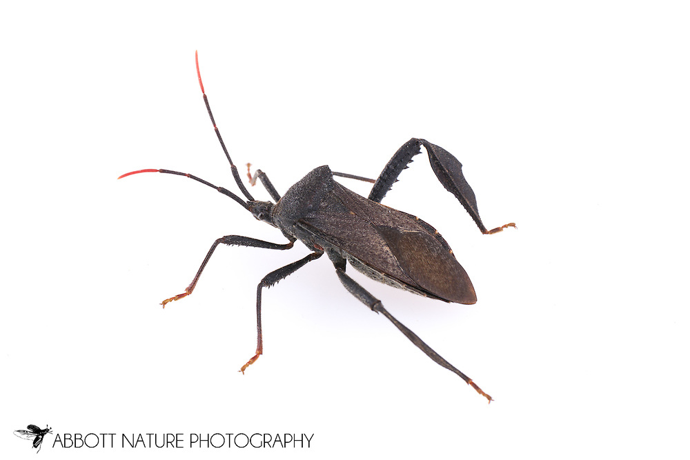 Leaf-footed Bug (Acanthocephala terminalis)<br /> TEXAS: Williamson Co.<br /> Cear Park<br /> 17-May-2015<br /> J.C. Abbott &amp; K.K. Abbott