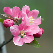 Crabapple Tree Blossoms
