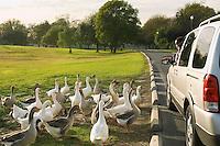 Geese Looking at Boy in Minivan